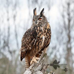 Eurasian Eagle-Owl_2019-03-14_2
