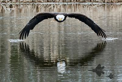 Bald Eagle_2019-03-14_3