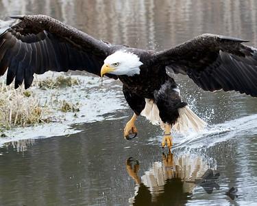 Vultures, Hawks & Allies