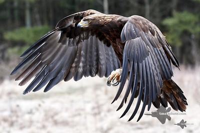 Golden Eagle_2019-03-14_17