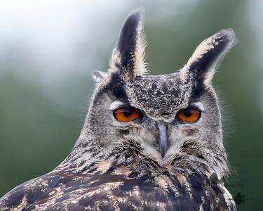 Eurasian Eagle-Owl_2019-03-14_4