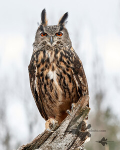 Eurasian Eagle-Owl_2019-03-14_3