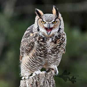 Great Horned Owl_2019-03-14_6