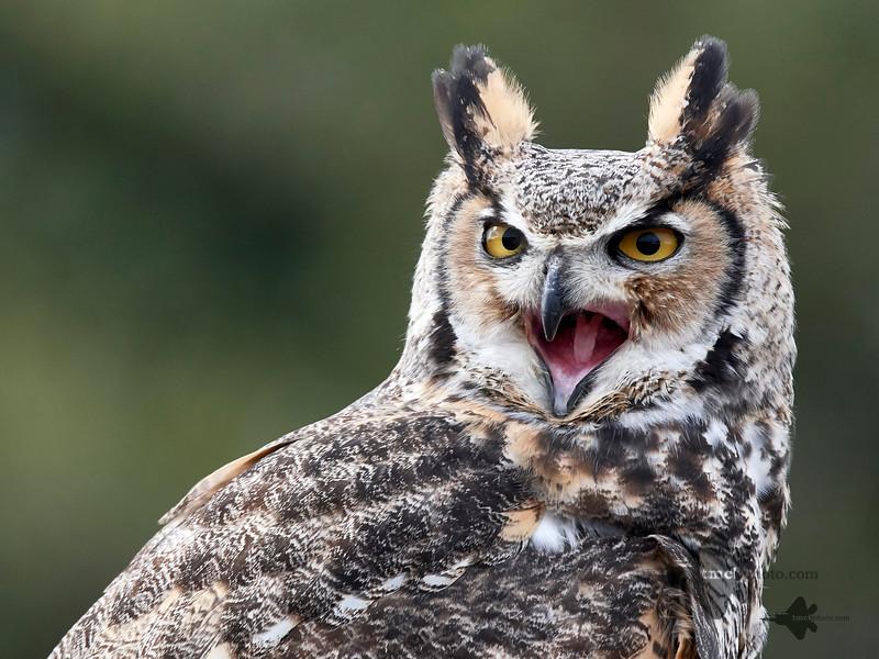 Great Horned Owl_2019-03-14_12