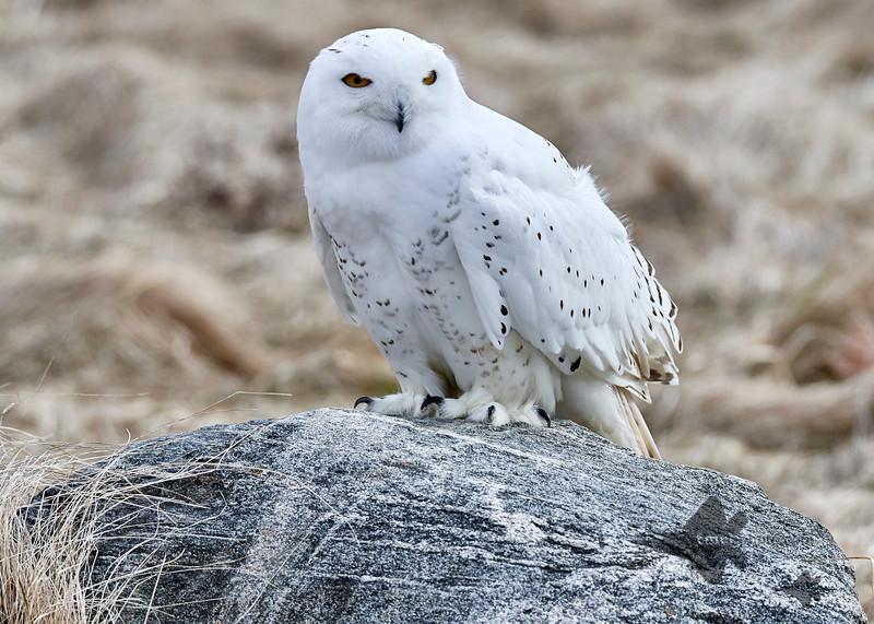 Snowy Owl_2019-03-14_3