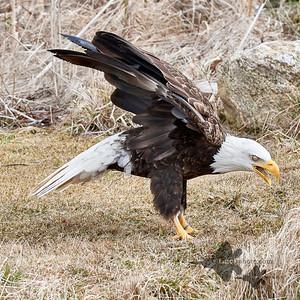 Bald Eagle_2019-03-14_7