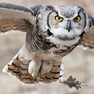 Great Horned Owl_2019-03-14_7
