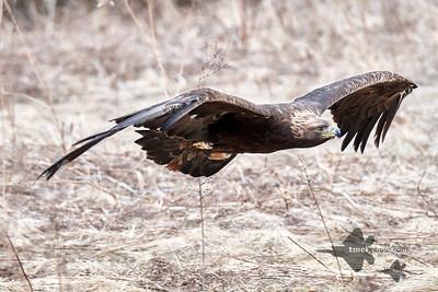 Golden Eagle_2019-03-14_16