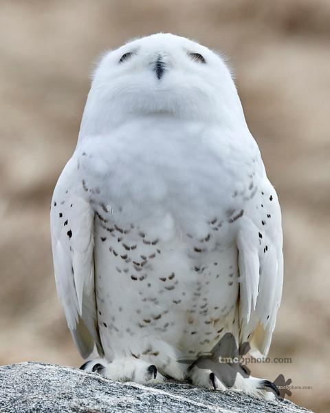 Snowy Owl_2019-03-14_4