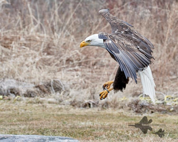 Bald Eagle_2019-03-14_10