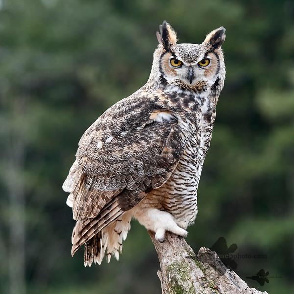 Great Horned Owl_2019-03-14_11