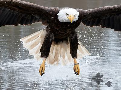 Bald Eagle_2019-03-14_4