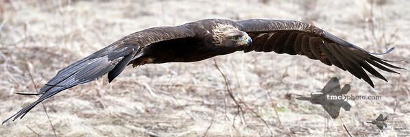 Golden Eagle_2019-03-14_14