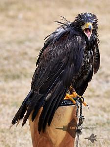 Golden Eagle_2019-03-14_1