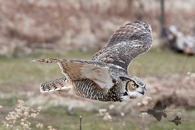 Great Horned Owl_2019-03-14_5