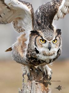 Great Horned Owl_2019-03-14_8
