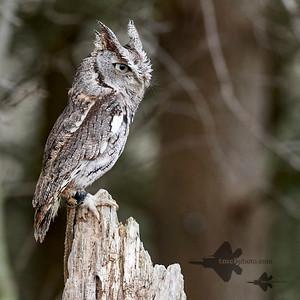 Eastern Screech-Owl_2019-03-14_3