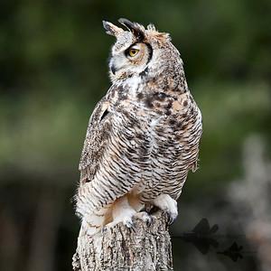 Great Horned Owl_2019-03-14_2