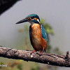 Common Kingfisher, Pune Reservoir, Maharashtra, India.
