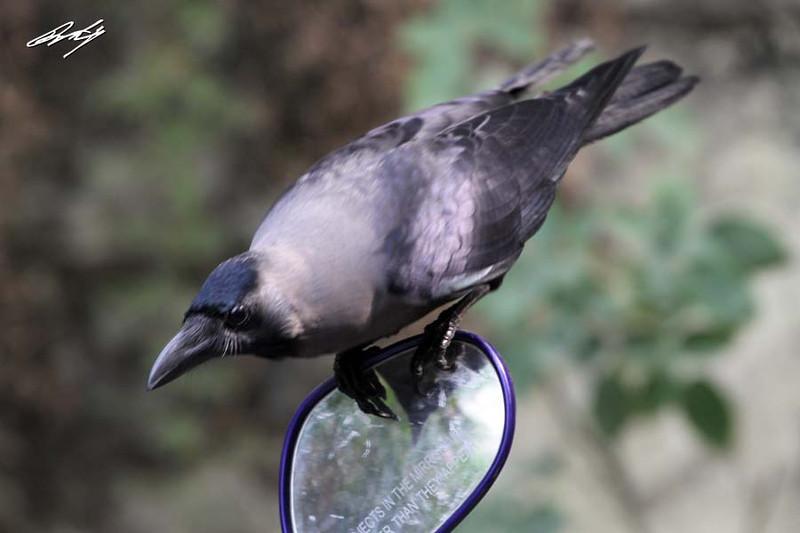 House Crow, Market Yard, Pune, India.