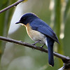Blue-throated Flycatcher