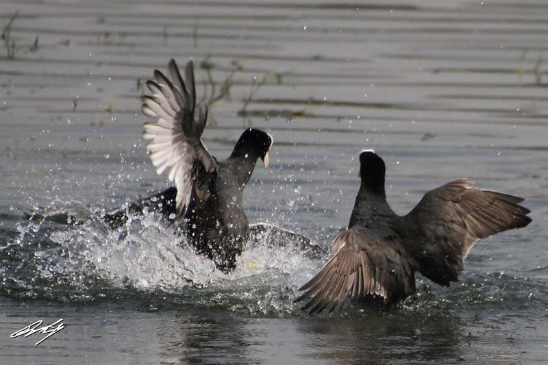 Common Coot, Pune Reservoir, Maharashtra, India.