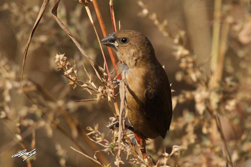 Scaly-breasted Munia, female, Salisbury Park, Pune, India.