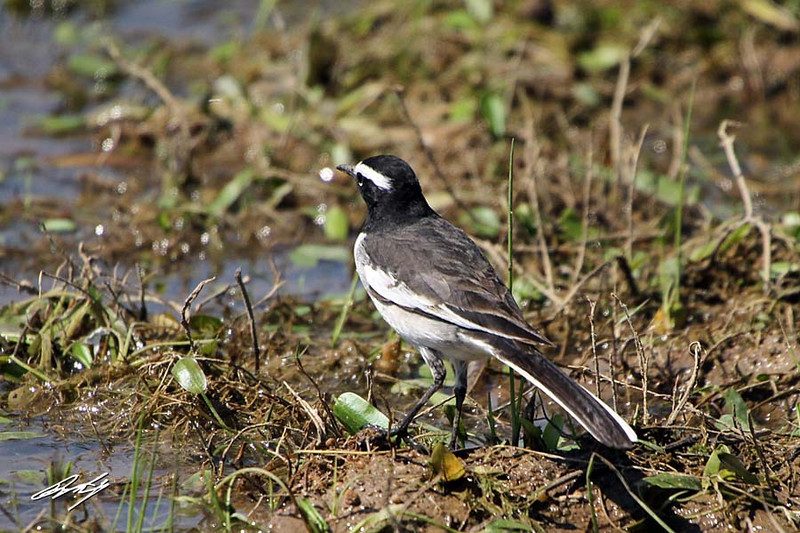 White-browed Wagtail