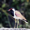 Red-wattled Lapwing, Katraj Lake, Pune, India.