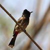 Red-vented Bulbul, Singha Had Fort Road, Maharashtra, India.