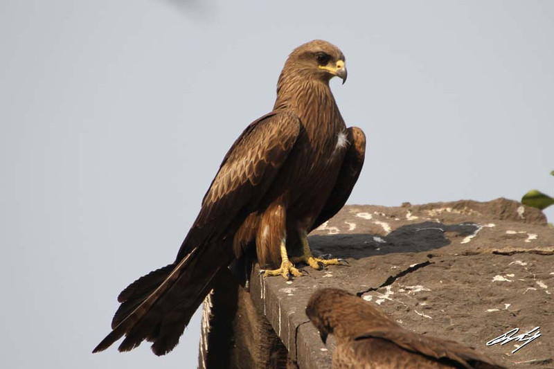 Black Kite, Meat Market, Pune, India.