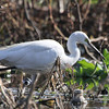 Little Egret, Katraj Lake, Pune, India.