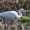 Little Egret, Katraj Lake, Pune, India.