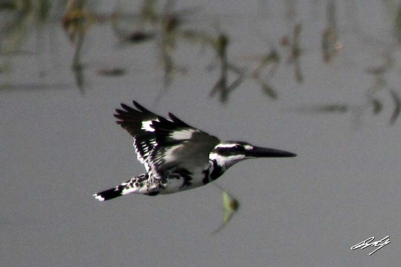 Pied Kingfisher, Pune Reservoir, Maharashtra, India.