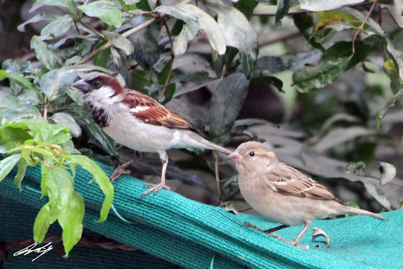 House Sparrow (aka Eurasian Weaver Finch), Nibm Road, Pune, India.
