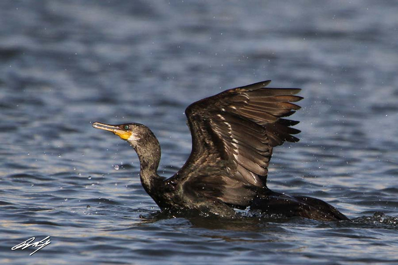 Indian Cormorant, Katraj Lake, Pune, India.