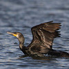 Indian Cormorant, Katraj Lake, Pune, India.