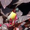 Purple-rumped Sunbird male