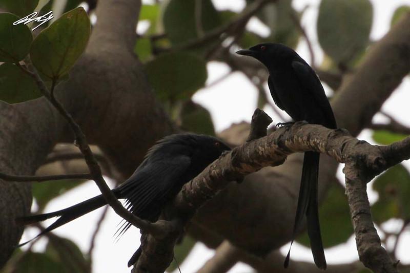 Black Drongo, Salisbury Park, Pune, India.