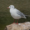 Black-headed Gull non-breeding