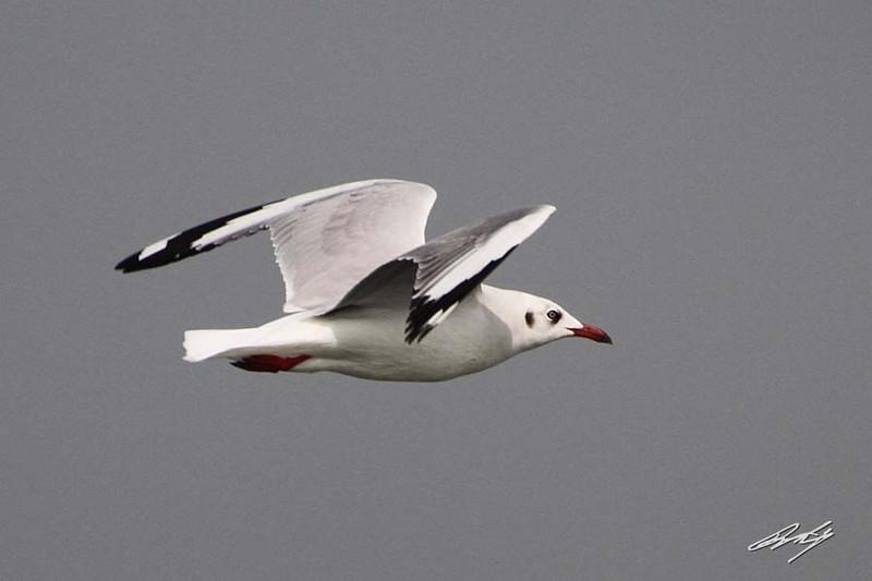 Brown-headed Gull non-breeding