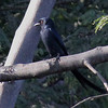 Ashy Drongo, Katraj Lake, Pune, India.