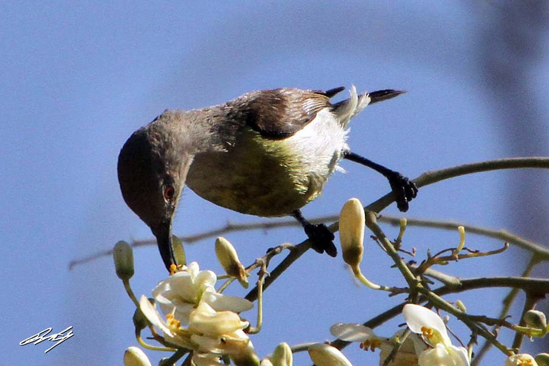 Purple Sunbird female