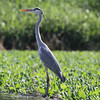 Gray Heron, Katraj Lake, Pune, India.