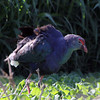 Purple Swamphen, Katraj Lake, Pune, India.