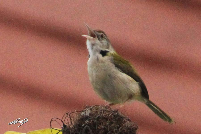 Common Tailorbird, Nibm Road, Pune, India.