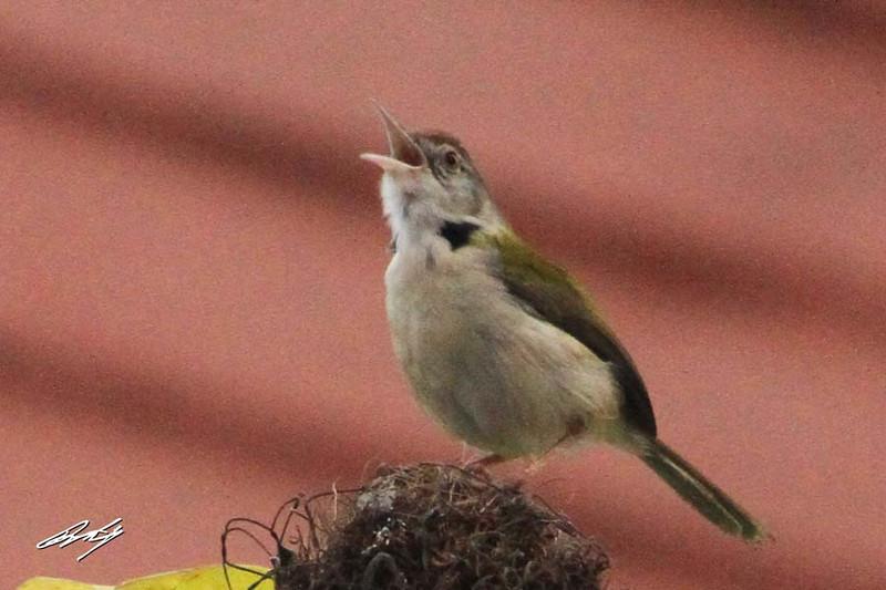 Common Tailorbird, Nibm Road, Pune, India.