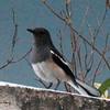 Oriental Magpie Robin, Nibm Road, Pune, India.