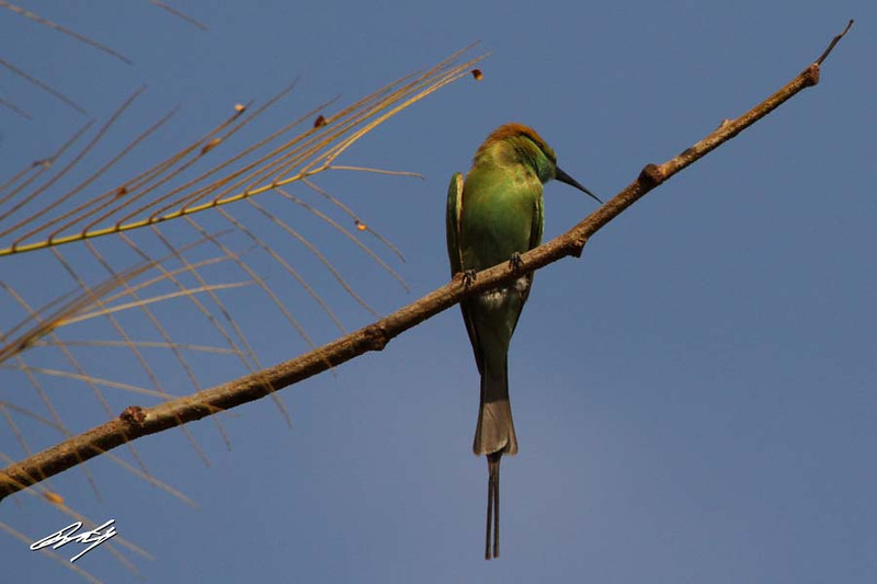 Green Bee Eater, Salisbury Park, Pune, India.