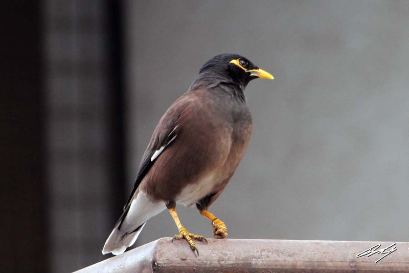 Common Myna, Nibm Road, Pune, India.
